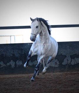 Beautiful Stallion lusitano solid in INTER 1